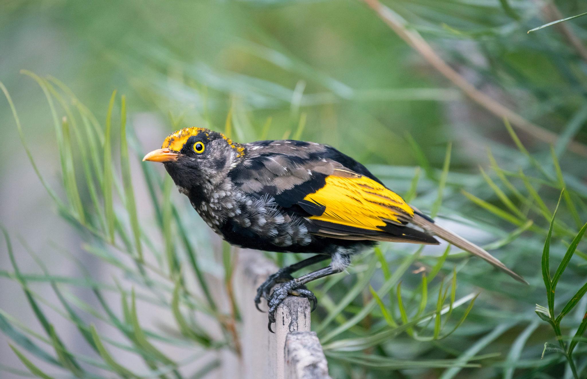 Juvenile Regent Bowerbird