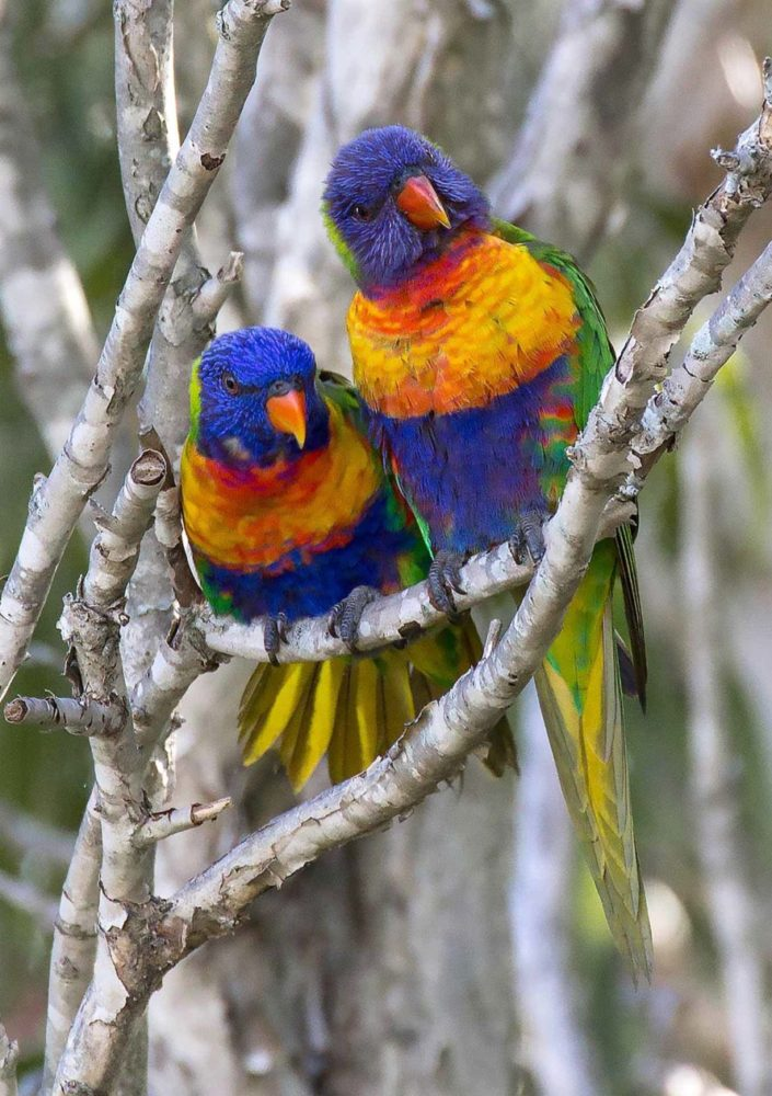 Rainbow Lorikeets paying attention