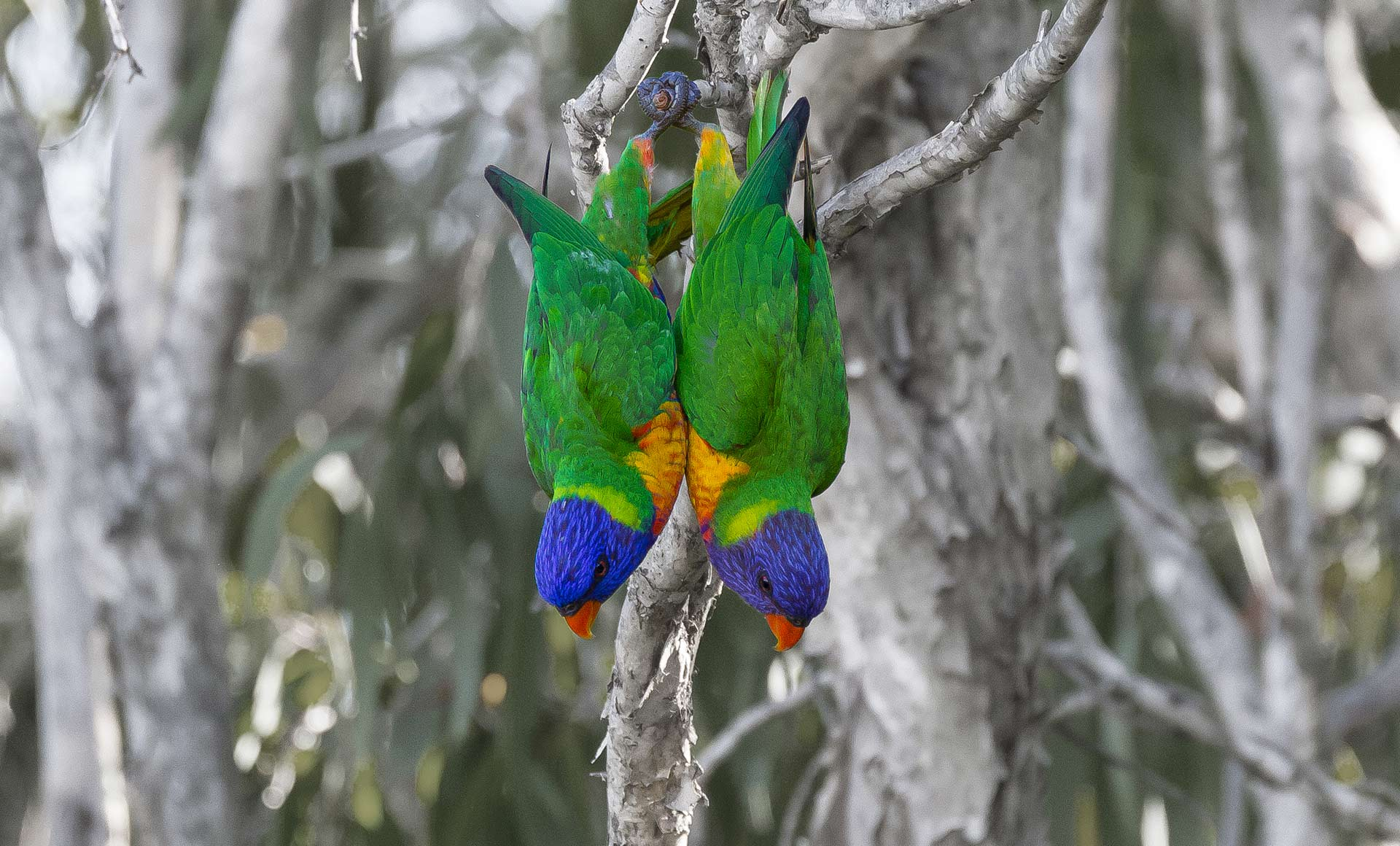 Rainbow Lorikeets perfectly in sync